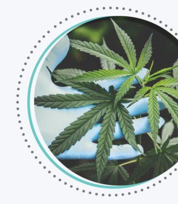 cannabis sativa weed plant