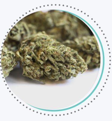 cannabis sativa weed bud