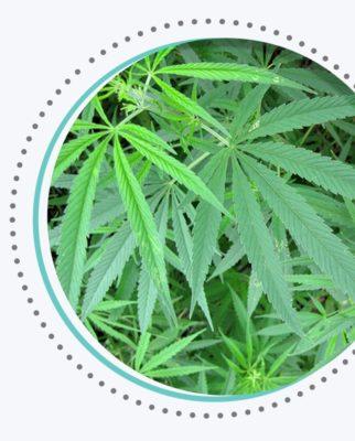 cannabis sativa strain weed plant