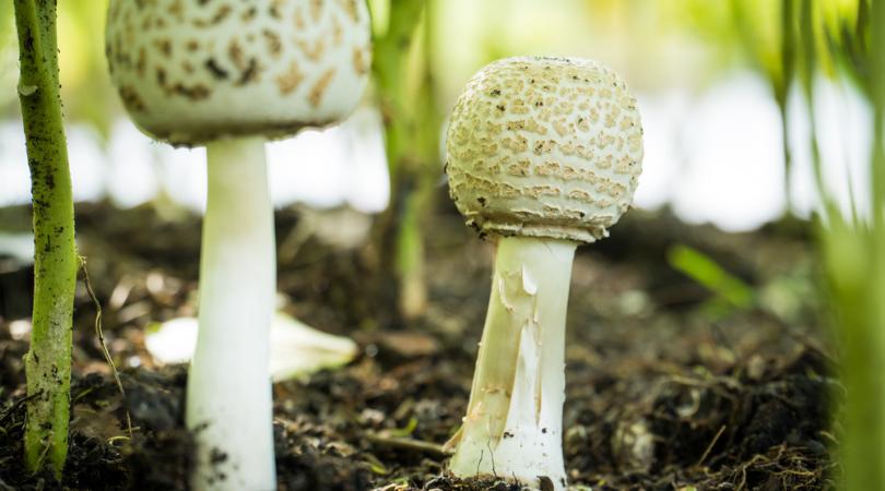 Magic Mushroom Hunting