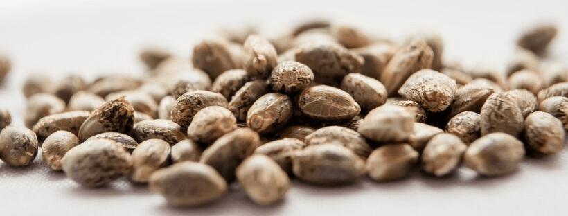 Pick The Best Marijuana Seeds