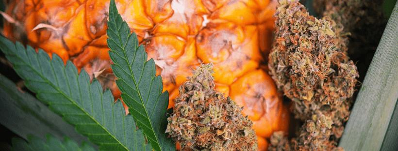 Pineapple Strain Medical Benefits